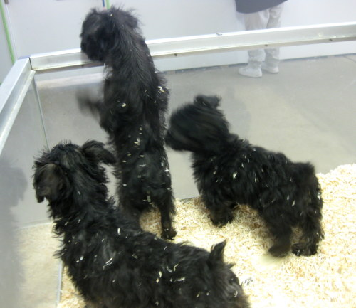 yorkie poo for adoption meet yorkie poo puppies a petfinder adoptable yorkshire 935
