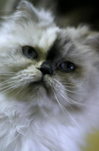 Himalayan cat montreal
