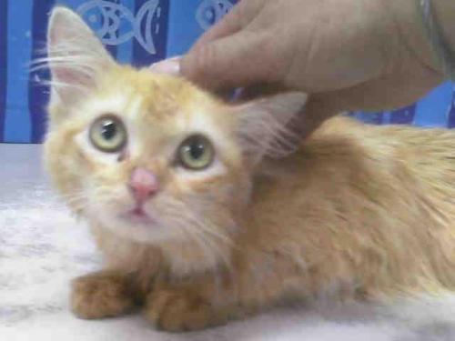 Himalayan cat rescue jacksonville