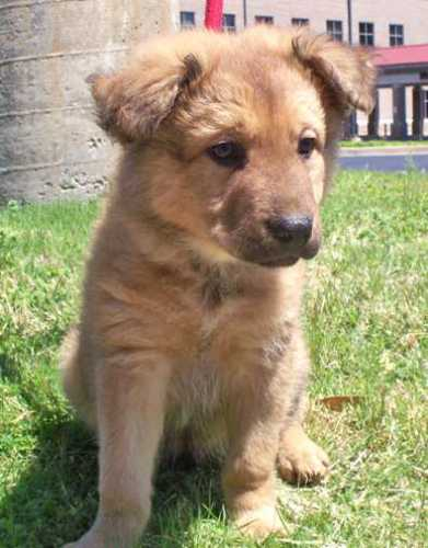 meet gldn ret gsd mix pups adopted a petfinder adoptable