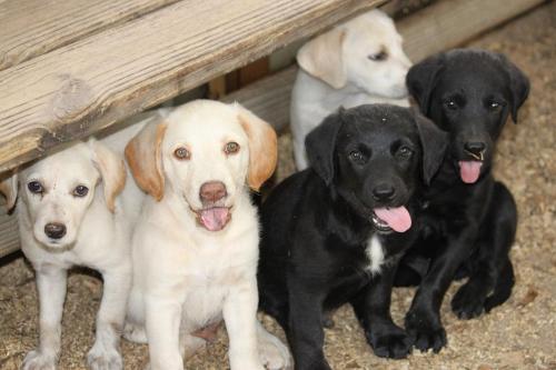 Mixed breed golden retriever and labrador