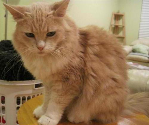 Maine coon and persian cat mix