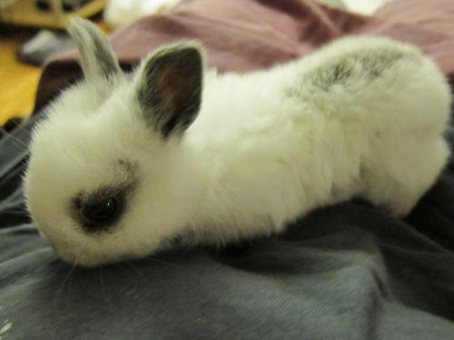 Meet Baby Dwarf, a Petfinder adoptable Dwarf Rabbit | Los Angeles, CA