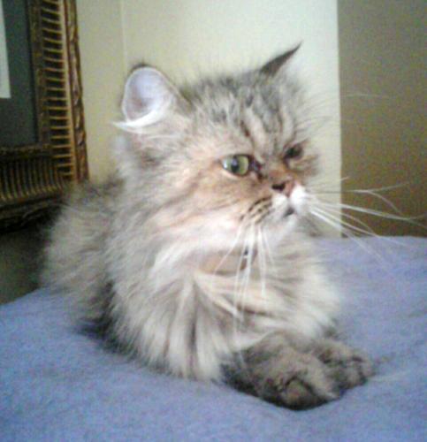 Himalayan cats charlotte nc