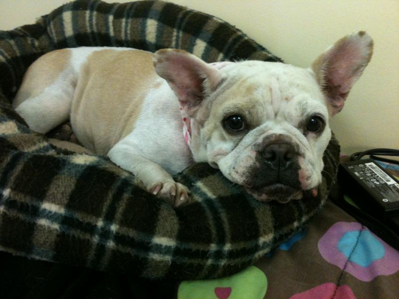 petfinder french bulldog meet jolee a petfinder adoptable french bulldog dog 7599