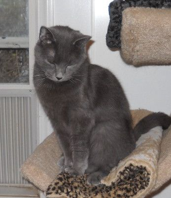 Star (winter star) - Domestic Medium Hair-gray