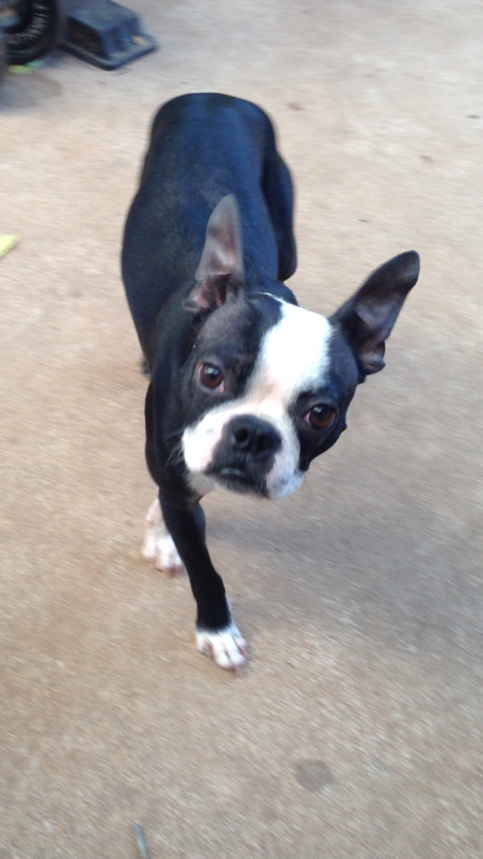 boston terrier texas meet percy a petfinder adoptable boston terrier dog 6870