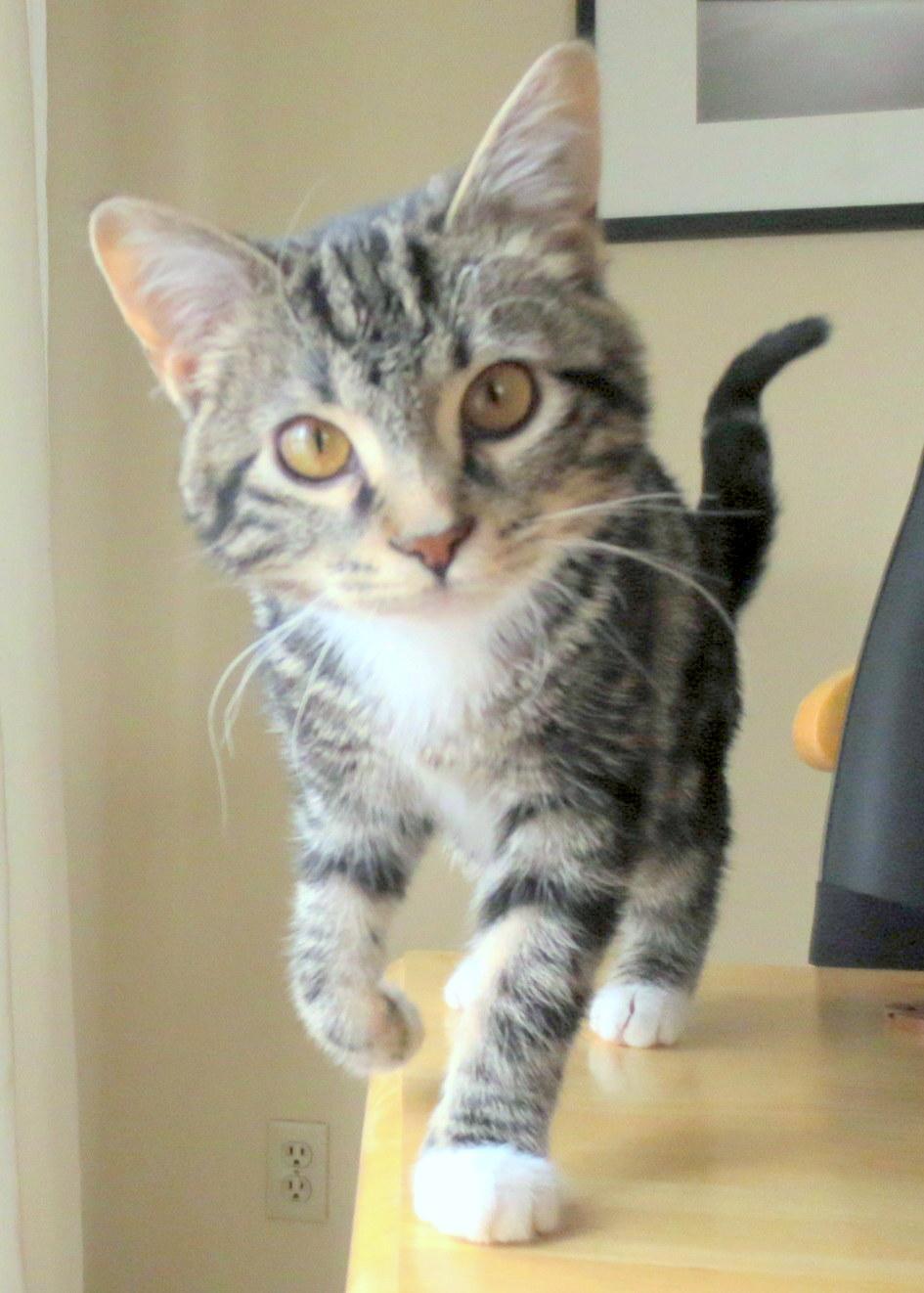 Bengal cat rescue petfinder