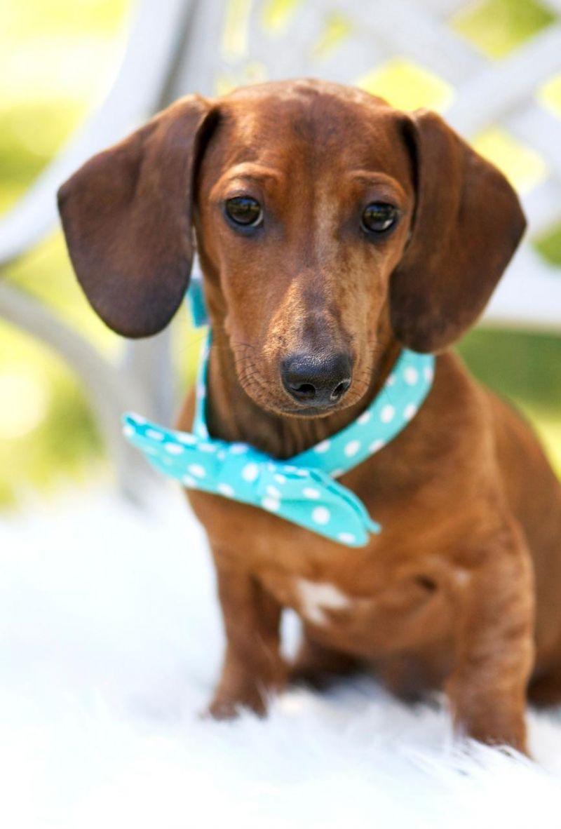 Meet Aiden A Petfinder Adoptable Dachshund Dog San