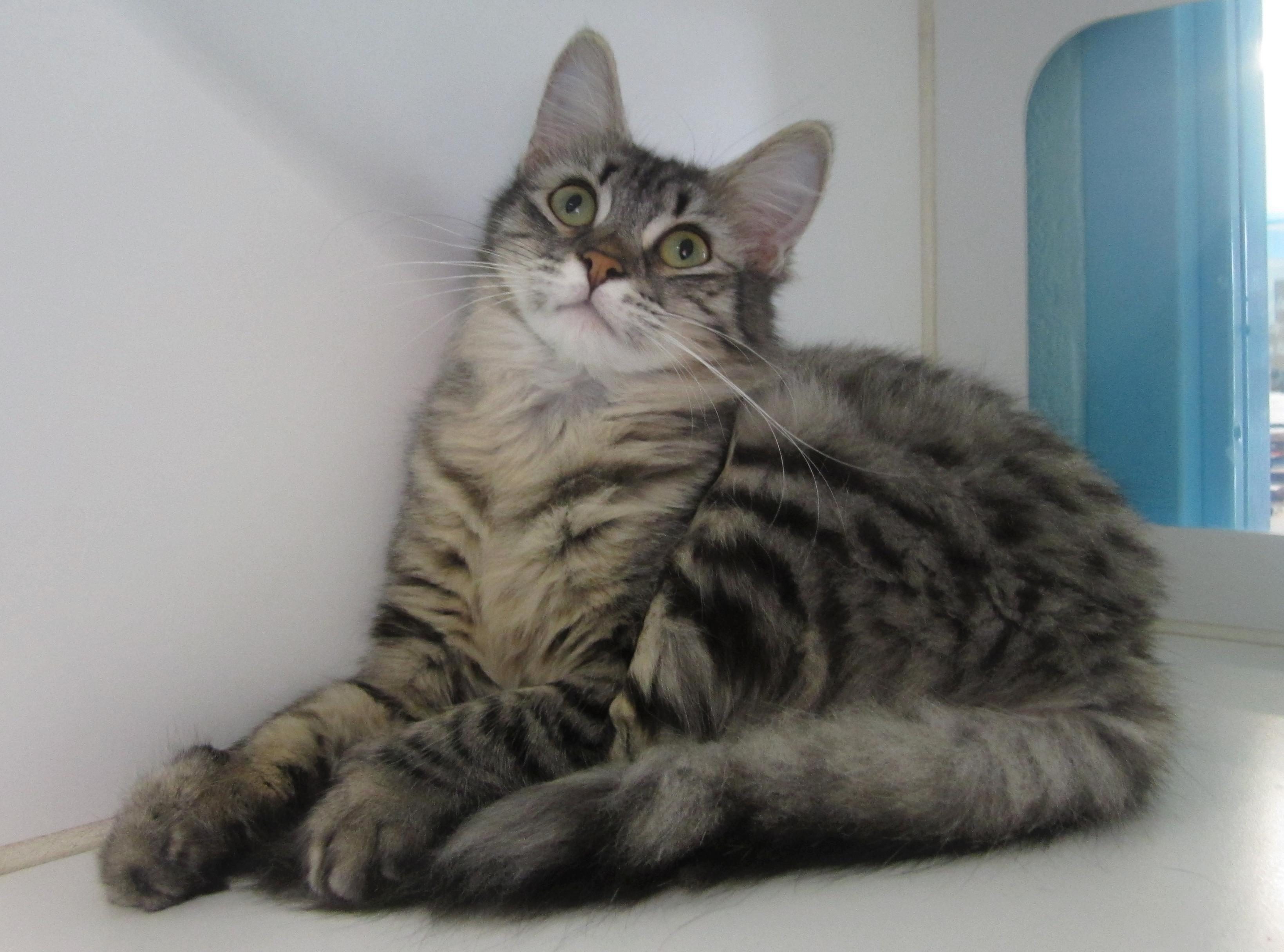 meet tori  exotic beauty a petfinder adoptable domestic