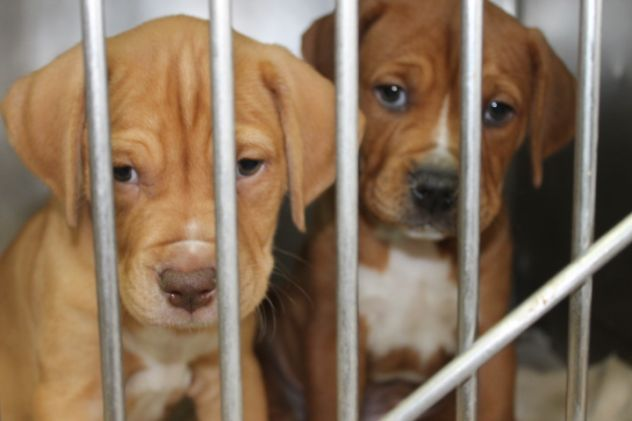 English Boxer Puppies