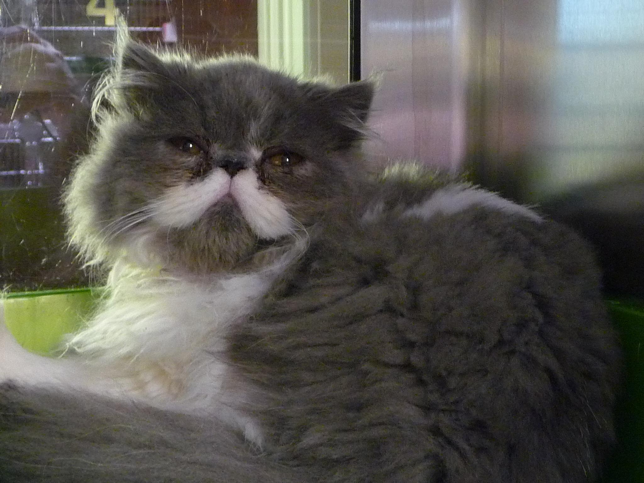 Persian cats york