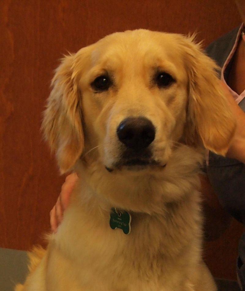 Meet Daphne, a Petfinder adoptable Golden Retriever Dog ...