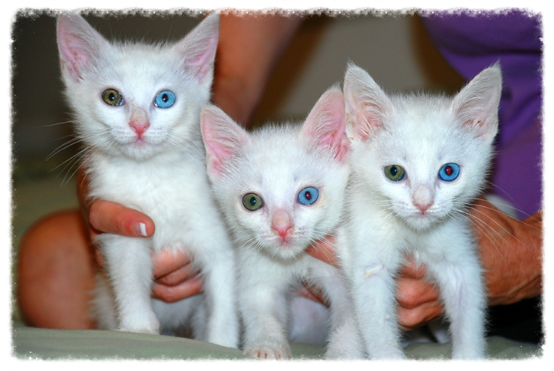 White turkish angora cats for adoption