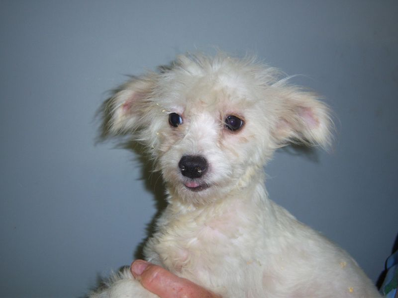 Chinese Crested Derby Rescue Dog