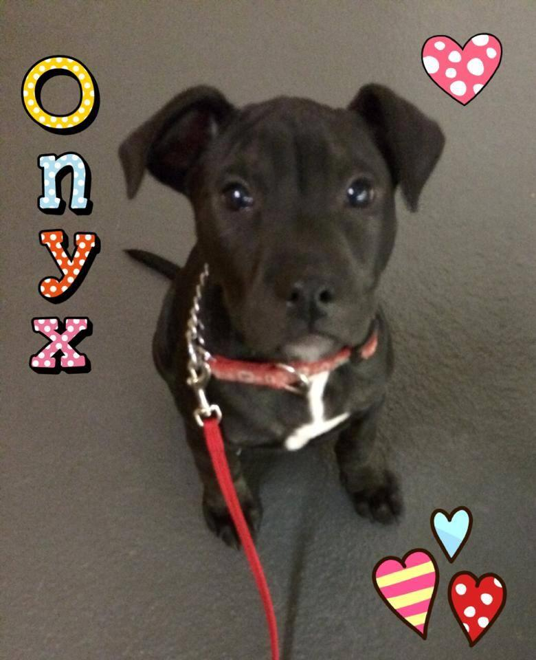 ONYX - American Staffordshire Terrier