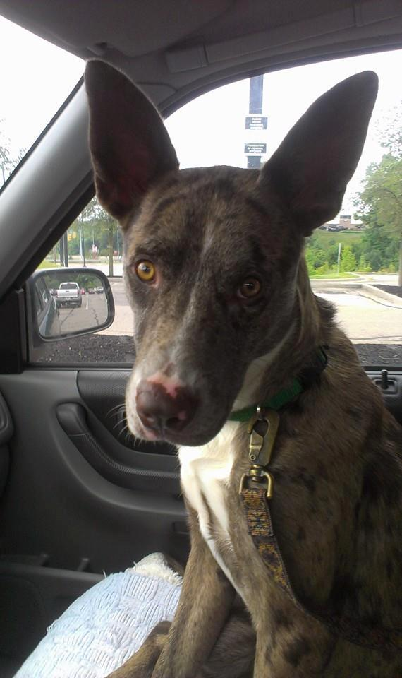 Scout - FOSTER TO ADOPT