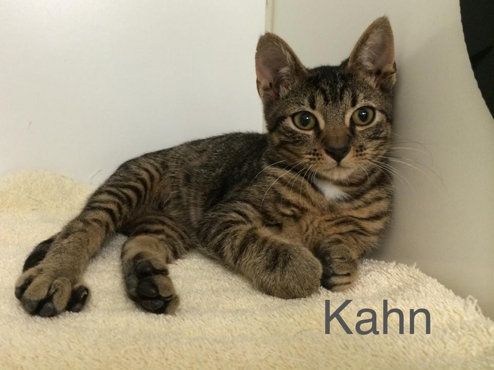 Kahn - Domestic Short Hair
