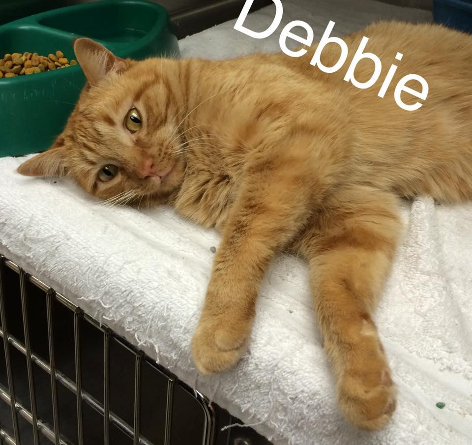 Debbie - Domestic Short Hair