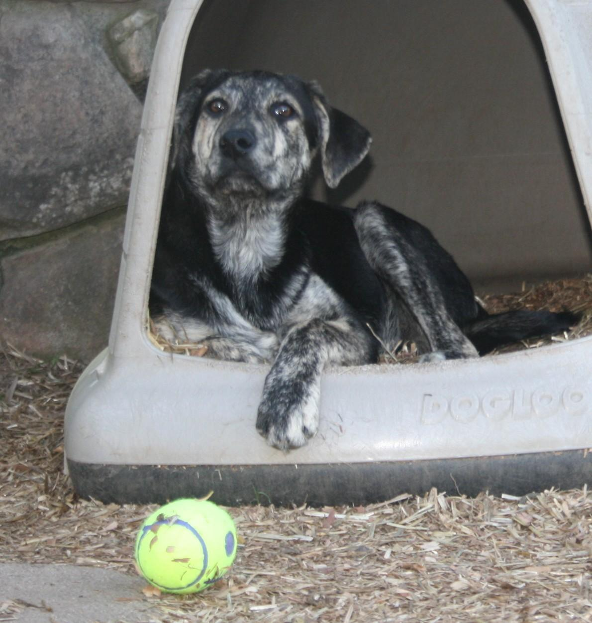 LIAM - Australian Cattle Dog (Blue Heeler)