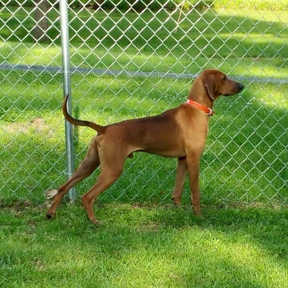 WAYLON - Redbone Coonhound