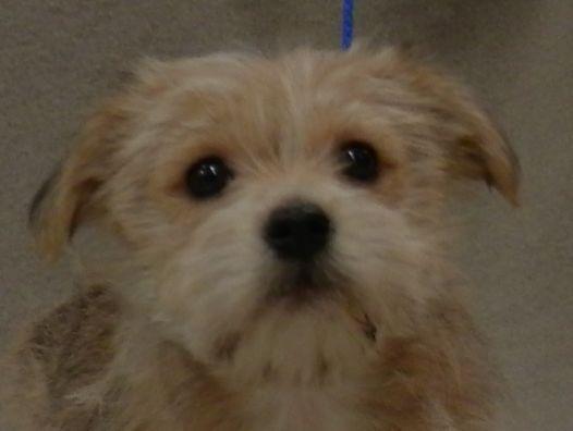 Rex - Adoption Pending - Cairn Terrier