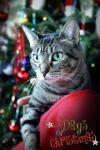 Cat: Sheba