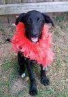 Dog: Shelley- ADOPTION PENDING