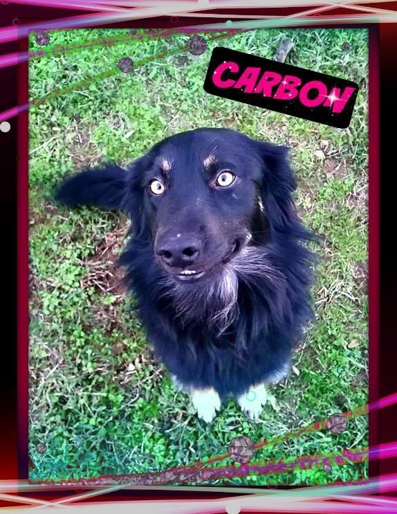 Carbon - Australian Shepherd