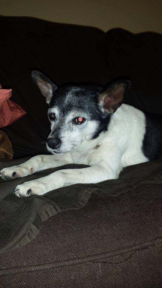 Millie - Rat Terrier