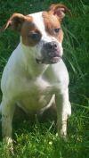 Boxer Dog: Shasta