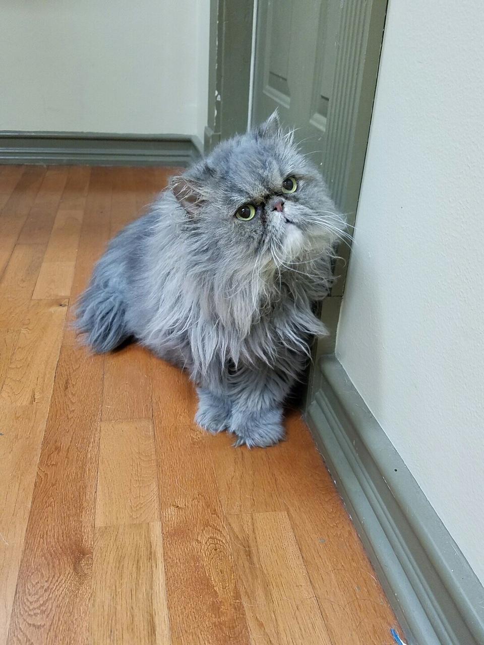 Persian cats for adoption houston