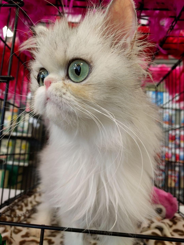 Helping persian cats petfinder