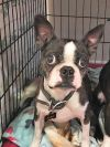 Boston Terrier Dog: Zane