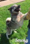 Norwegian Elkhound Dog: Smoky
