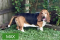 Max is a 7 year old male Basset Hound he is a bonded with Max the ABD HE WOUOD SO BEST IN A HOME WOT