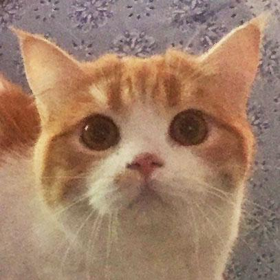 Persian and himalayan cat rescue san francisco