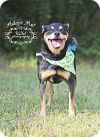 Manchester Terrier Dog: Ziggy