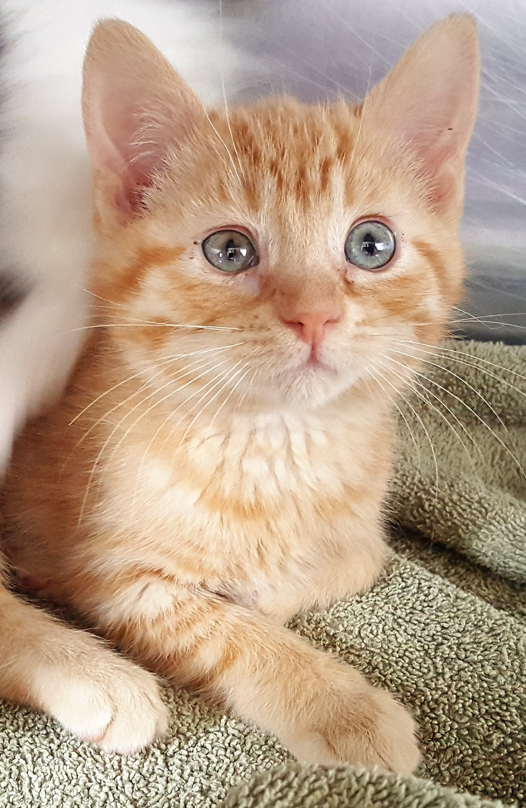 Baby Groot - Domestic Short Hair (Orange)