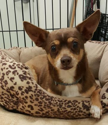 Gimli - Chihuahua