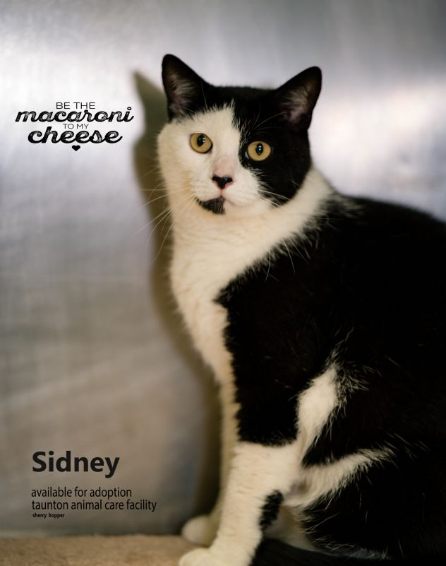Cat of the Month at Taunton Animal Shelter in Massachusetts