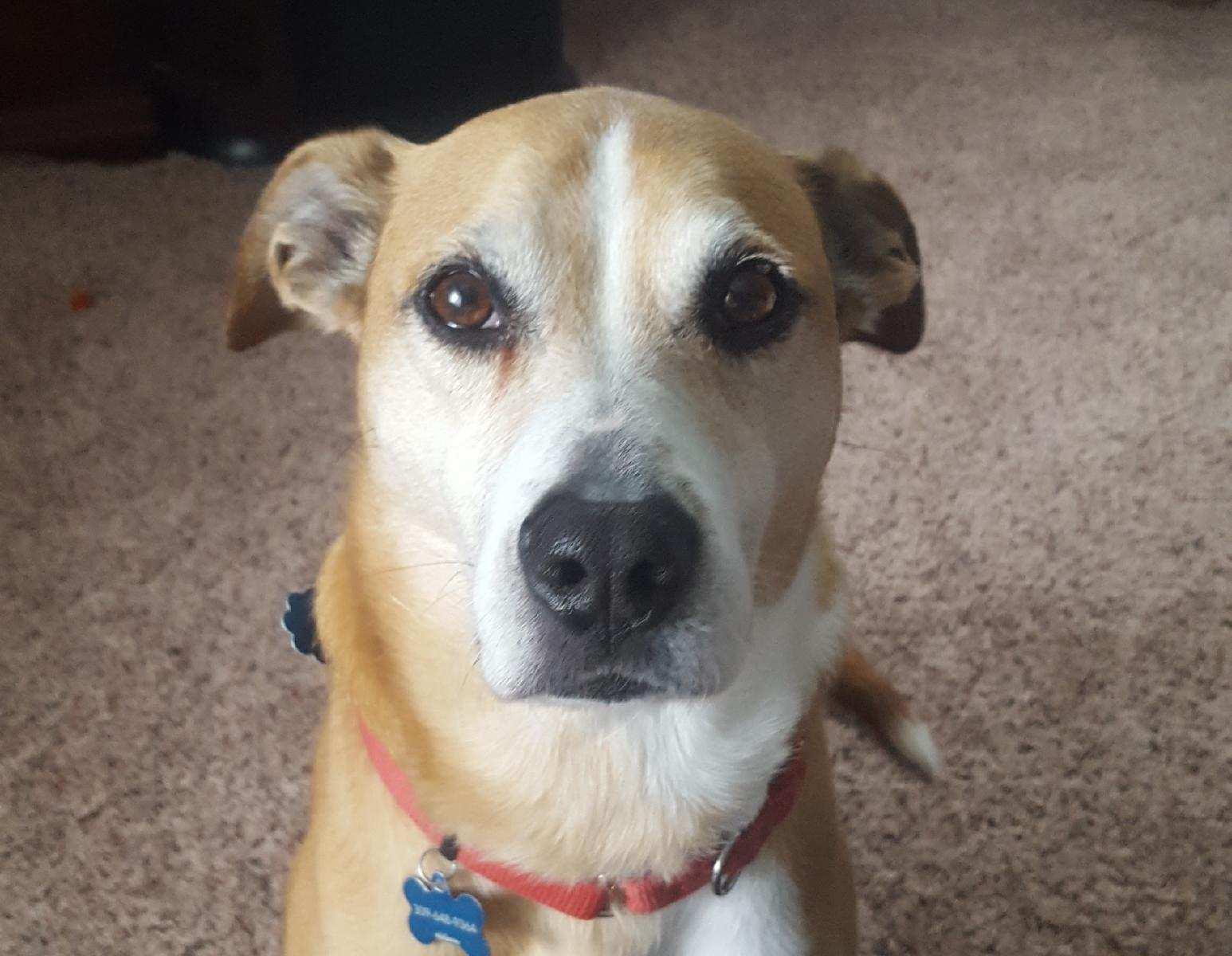 Beagle Boxer Dog