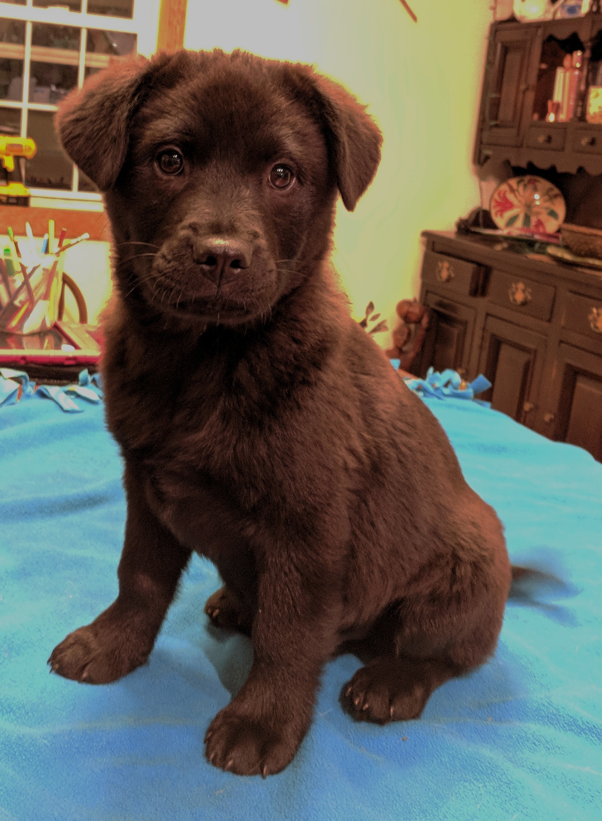 Titus Male Chow Chow Puppy New York Louies Legacy Animal Rescue